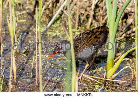A secretive Water Rail, forages in a dense reed bed in Somerset, UK - Stock Image