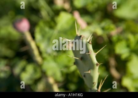 cactus malta - Stock Image