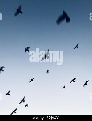 Pigeons flying in the blue sky. - Stock Image