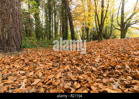 Fallen leaves carpet the forest floor in Autumn - Stock Image