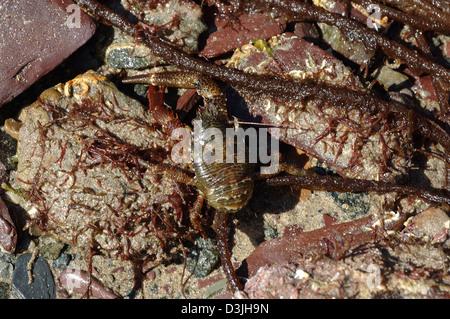Squat lobster (Galathea squamifera: Galatheidae) in a rockpool on the lower shore UK - Stock Image