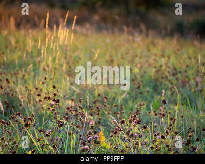 Summer meadow with sun lights. Detail scene of sunny grass. - Stock Image