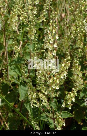 Wood sage (Teucrium scorodonia : Lamiaceae), UK. - Stock Image