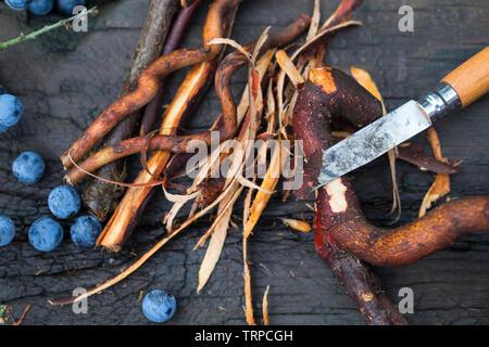 Die Rinde von Schlehenwurzeln wird mit einem Messer abgeschält, Wurzelernte, Ernte von Schlehenwurzeln, Rinde von Schlehenwurzeln, Schlehenwurzel, Sch - Stock Image