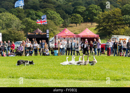 Visitors to the Lancashire Game and Country Festival 2015 watch a demonstration of sheepdog work with a gaggle of - Stock Image
