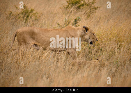 Lateral shot of Mother and cub lion walking in brown high grass, perfectly camouflaged in african plains - Stock Image