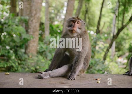 Balinese Long-Tailed Monkey sitting on a wall, Sacred Monkey Forest Sanctuary, Ubud, Bali, Indonesia - Stock Image