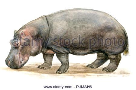 hippopotamus hippopotamus amphibius - Stock Image