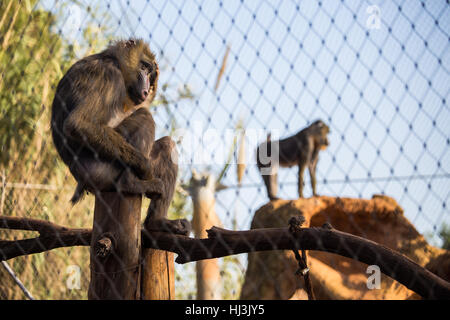 Female Mandrills sitting in a cage rubbing her head, in Zoo of Rabat, Morocco - Stock Image
