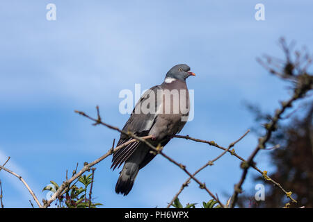 A wood pigeon (Columba palumbus) sitting on a curved branch against a lightly clouded blue sky - Stock Image
