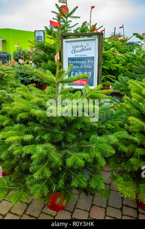 Potted Nordman or Caucasian fir trees Abies Nordmannia in a garden centre for sale at Christmas - Stock Image