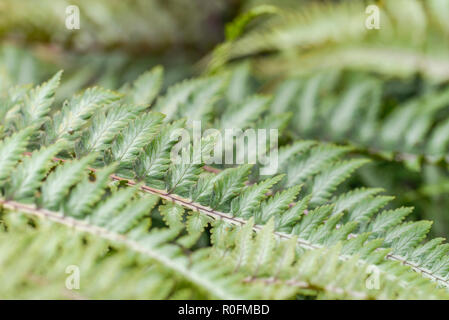 Close-up image of the almost bronze-like coloured leaves of an ornamental garden fern. - Stock Image