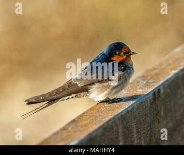 A welcome swallow perched on a bridge in northern queensland, australia - Stock Image