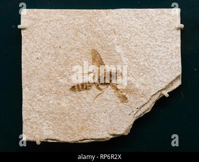 Fossil imprint of a wasp. The Field Museum. Chicago, Illinois, USA. - Stock Image