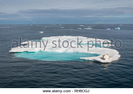 INCREDIBLE AERIAL images have captured 'climate refugee' polar bears hunting and running across the ever shrinking Arctic sea ice. The stunning pictur - Stock Image