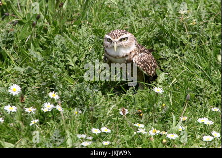 New World Burrowing owl (Athene cunicularia) emerging from a burrow. - Stock Image