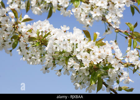 Sweet Cherry 'Williams seedling' blossom in Spring. - Stock Image