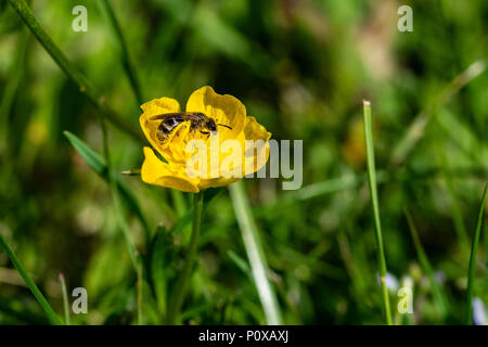 Bee collecting nectar pollen - Stock Image