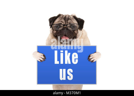 pug dog with glasses holding up blue sign with text like us, isolated on white background - Stock Image