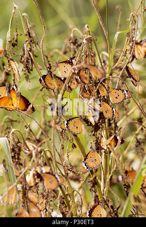 colony of Plain Tiger butterflies,(Danaus chrysippus), Keoladeo Ghana National Park, Bharatpur, Rajasthan, India - Stock Image