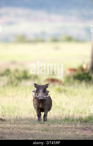 The warthog or common warthog Phacochoerus africanus standing against the savanna looking at the viewer - Stock Image