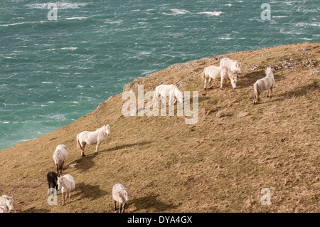 Eriskay ponies on a cliff top on the island of Eriskay - Stock Image