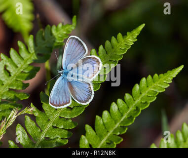 Silver-studded Blue male perched on bracken. Fairmile Common, Esher, Surrey, England. - Stock Image