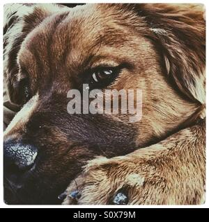 Six month old chow Labrador puppy dog. - Stock Image