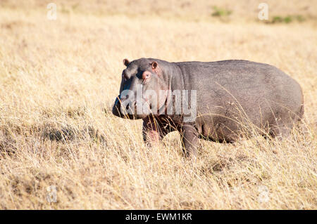 Adult Hippopotamus, Hippopotamus amphibius, on land, standing in dry grass, Masai Mara National Reserve, Kenya, - Stock Image