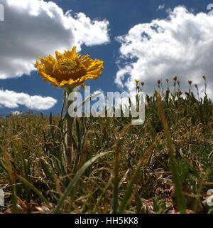 Alpine sunflower tundra Colorado - Stock Image