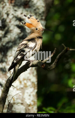 Hoopoe, Latin name Upupa epops, perched on a branch with crest raised in woodland habitat in dappled sunlight - Stock Image