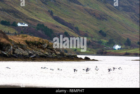 Ardara, County Donegal, Ireland. 16th December 2018. A flight of Oystercatchers, Haematopus ostralegus, arrive on the noth-west coast from Iceland or Faeroe Islands. They spend the winter here before returning to breed in the spring. Credit: Richard Wayman/Alamy Live News - Stock Image