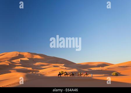Tuareg man leading camel train, Erg Chebbi, Sahara Desert, Morocco - Stock Image