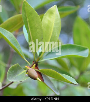 A Red Mangrove (Rhizophora mangle) propagule emerges from the fruiting body. After a period of growth the propagule - Stock Image
