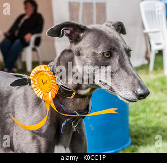 The Barlow Hunt Dog Show - A greyhound dog with his rosette for coming third in hid class - Stock Image