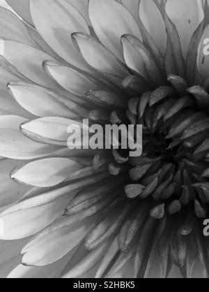 Flower jn black and white - Stock Image