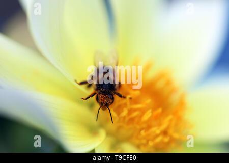 Macro Shot Of A Honey Bee Pollinating On Yellow Flower - Stock Image
