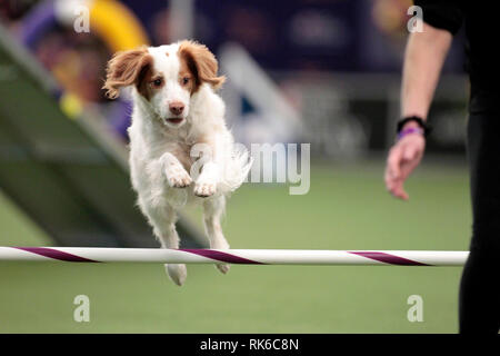 New York, USA. 09th Feb, 2019. Westminster Dog Show - Sadie, a Brittany, competing in the preliminaries of the Westminster Kennel Club's Master's Agility Championship. Credit: Adam Stoltman/Alamy Live News - Stock Image