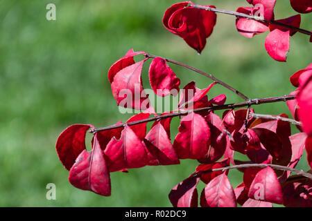 Closeup of the leaves of Burning bush, Euonymus alastus. Kansas, USA. - Stock Image