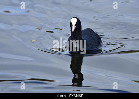 Coot Swimming in the Water - Stock Image