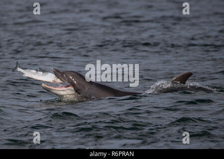 Bottlenose dolphin hunting Atlantic salmon in Scottish waters - Stock Image