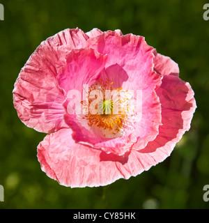 Papaver rhoeas, pink corn poppy - Stock Image