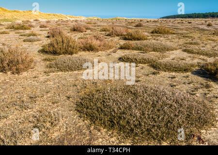Desert like flora growing on tidal salt marsh at low tide near sand dunes on Holkham bay, North Norfolk coast, East Anglia, England, - Stock Image