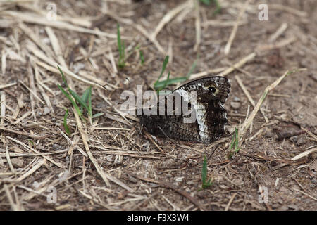 Great banded grayling At rest on forest track Hungary June 2015 - Stock Image