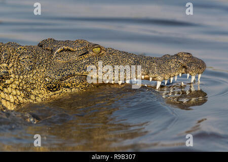 Nile crocodile (Crocodylus niloticus), Chobe river, Botswana - Stock Image
