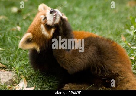 Red or lesser panda, Ailurus fulgens styani, scratching - Stock Image