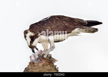 Osprey has almost finished it's first afternoon meal. - Stock Image