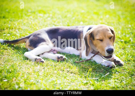 happy dog on the grass biting a wood stick - Stock Image