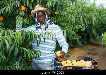Successful male owner of orchard gathering harvest of ripe peaches on sunny day - Stock Image