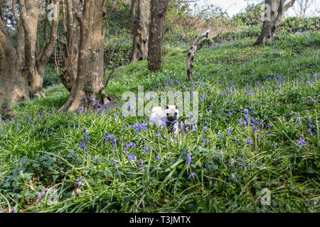Newlyn, Cornwall, UK. 10th Apr, 2019. UK Weather. The mild weather has brought out the bluebells in the wood at Newlyn, on another warm, sunny day in Cornwall. Out and about this morning in the wood, was Titan the pug pup. Credit: Simon Maycock/Alamy Live News - Stock Image